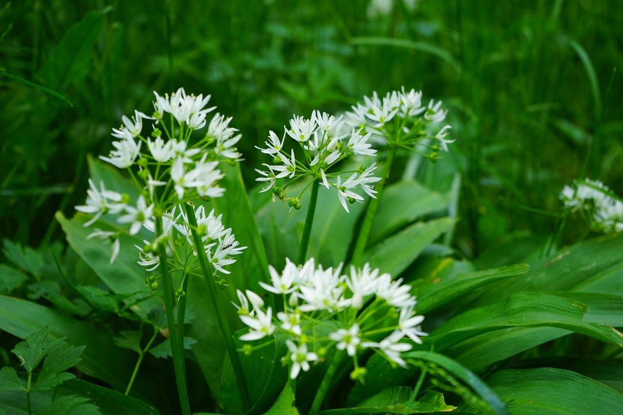 Wild Garlic grass-blossom-plant-white-meadow-flower-1331736-pxhere.com