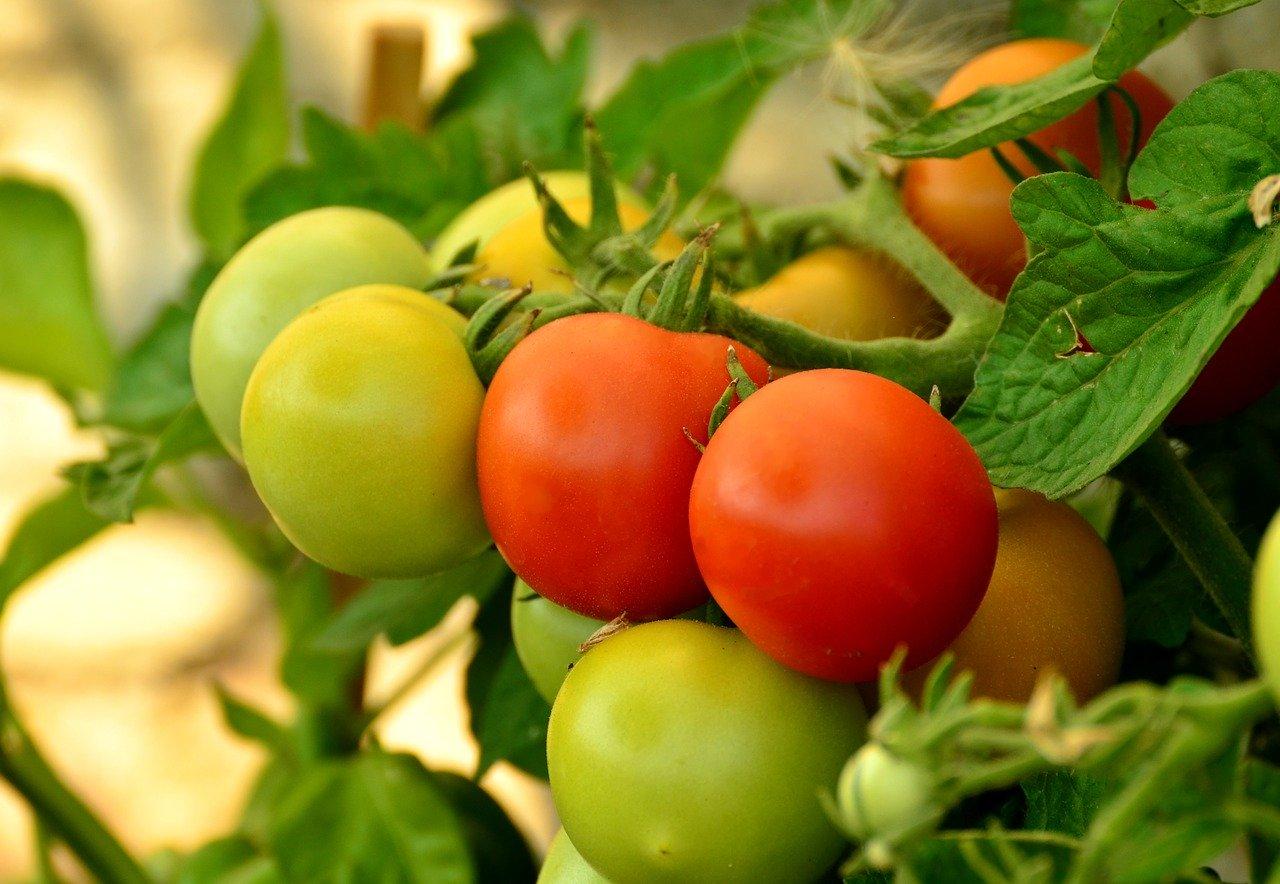 tomatoes-879441_1280